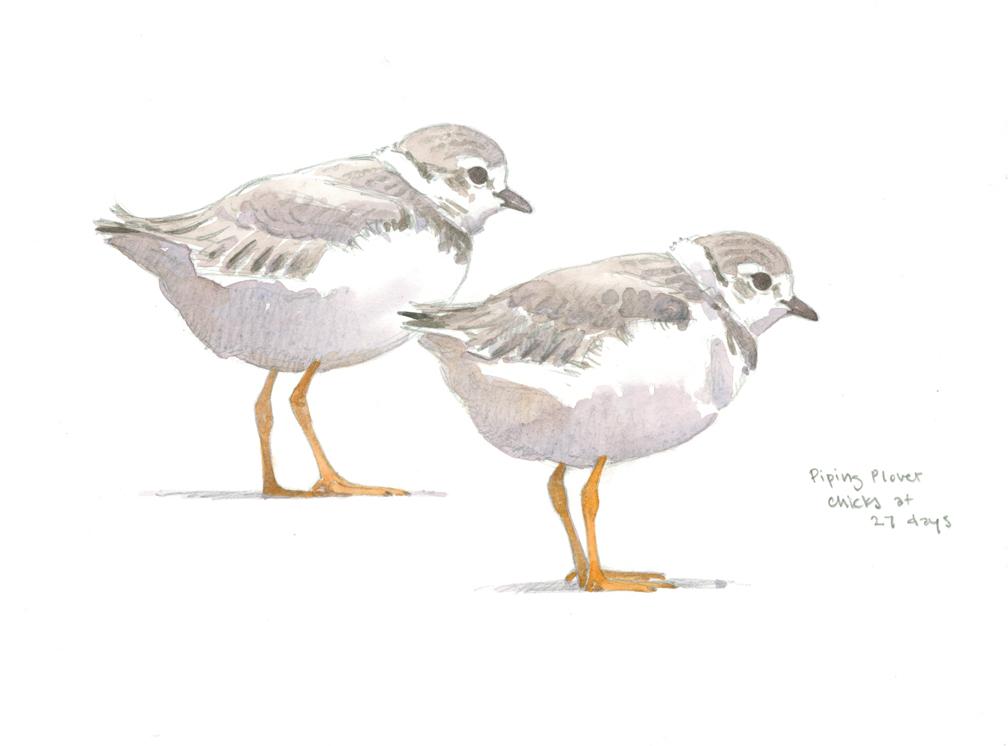 Piping Plover Chicks at 27 days - at 72 dpi