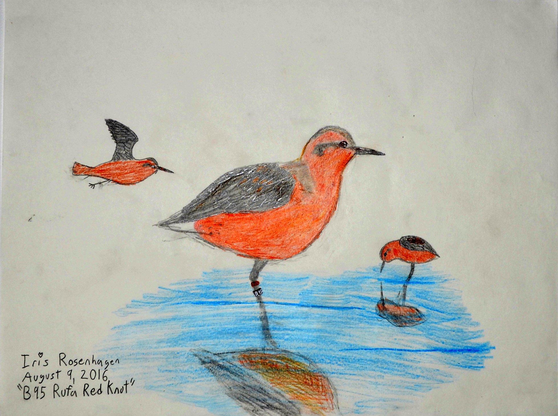 Iris Rosenhagen, Red Knot, Age 11