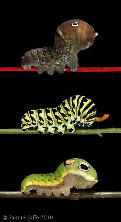 Sam Jaffe's photograph of a Eastern Tiger Swallowtail (Top), Black Swallowtail (Middle), and Spicebush Swallowtail (Bottom). Learn more at: http://www.thecaterpillarlab.org/single-post/2015/12/01/SPICEBUSH-SWALLOWTAIL