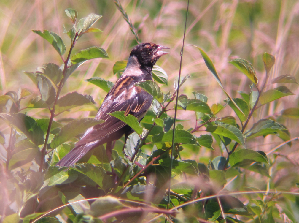 Bobolink in Moult 2 - at 72 dpi