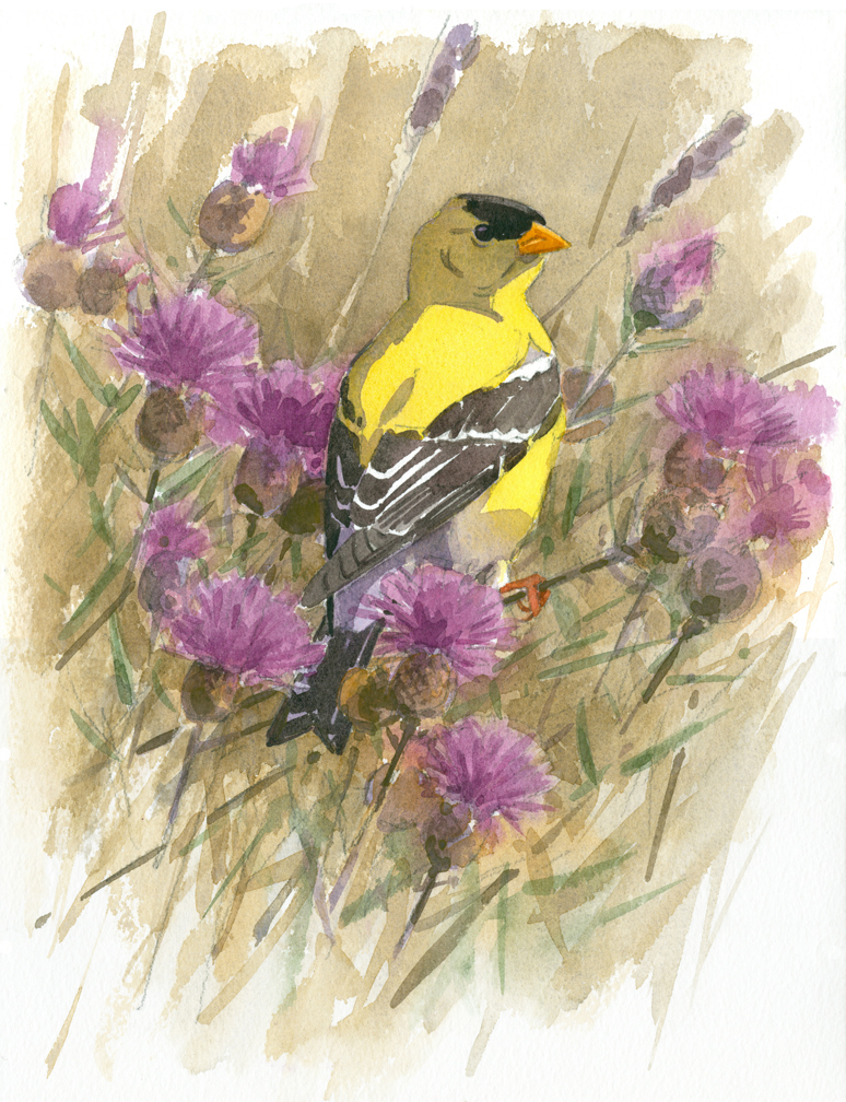 Goldfinch and Knapweed - at 72 dpi