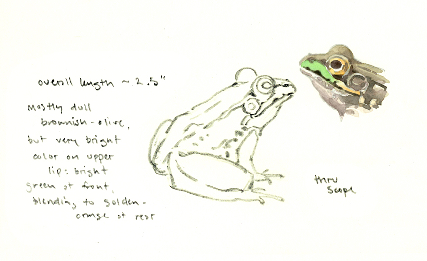 Green Frog sketchbook study - at 72 dpi
