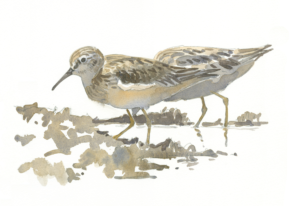 Least Sandpipers at Daniel Webster - at 72 dpi - Copy
