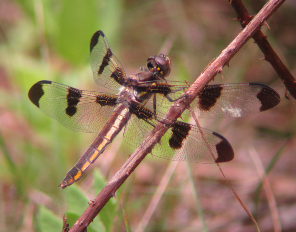 Twelve-spotted Skimmer, Lynes Woods - at 72 dpi
