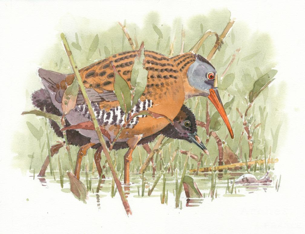 Virginia Rail and Young - at 72 dpi