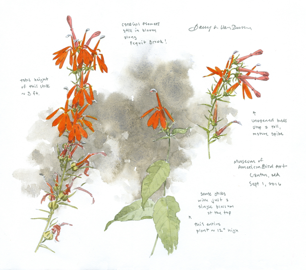 cardinal-flowers-3-at-maba-at-72-dpi