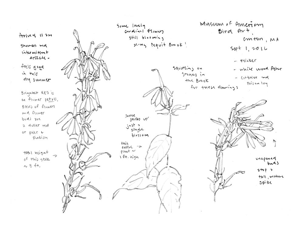 cardinal-flowers-at-maba-pencil-sketch-at-72-dpi