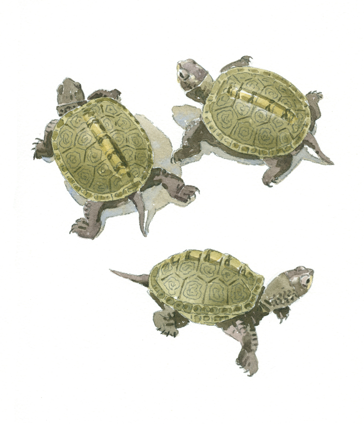 diamondback-terrapin-hatchlings-detail-at-72-dpi