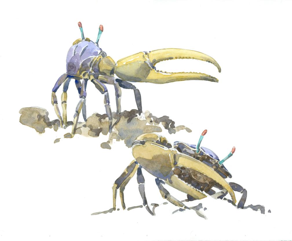 fiddler-crabs-at-72-dpi
