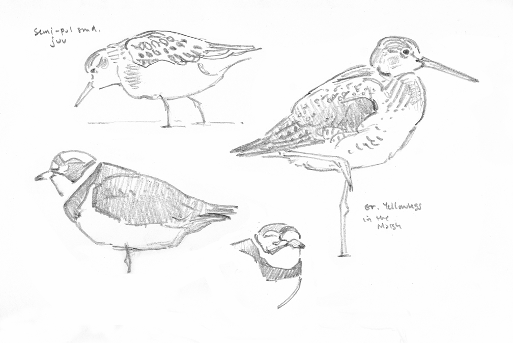 gr-yellowlegs-etc-sketchbook-studies-wellfleet-bay-at-72-dpi