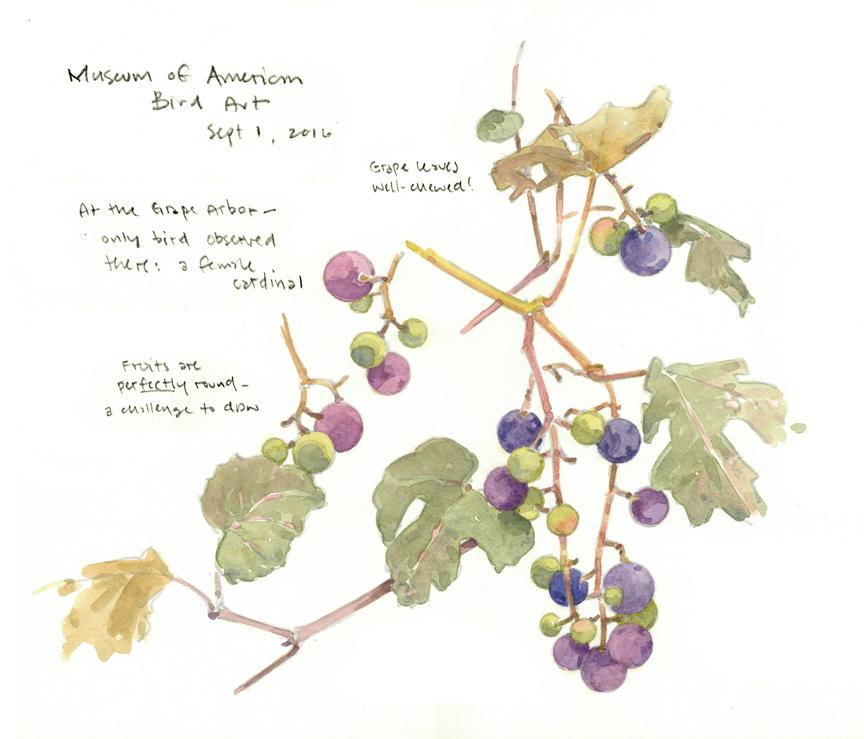 grapes-at-maba-2-at-72-dpi