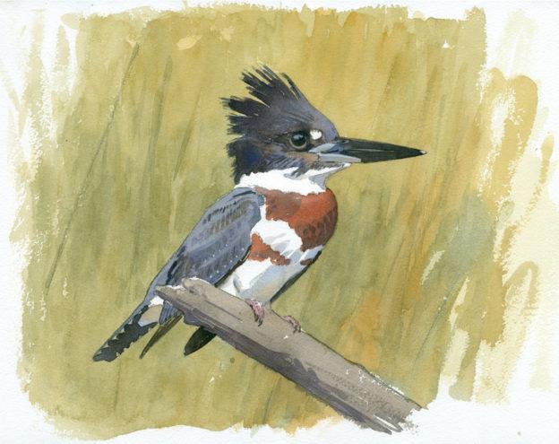 Belted Kingfisher Taking Flight