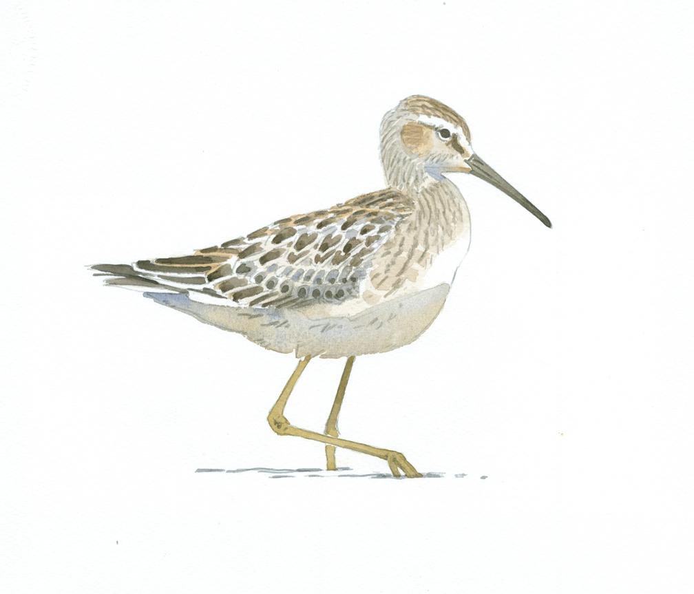 stilt-sandpiper-wellfleet-bay-at-72-dpi