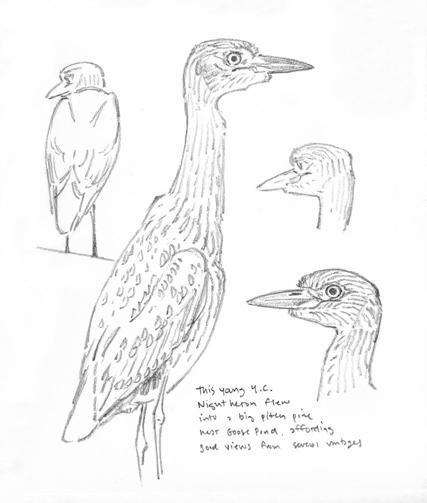 yellow-crowned-night-heron-sketchbook-studies-at-72-dpi