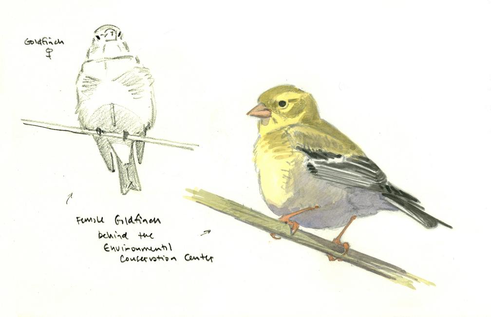 goldfinch-at-bnc-at-72-dpi