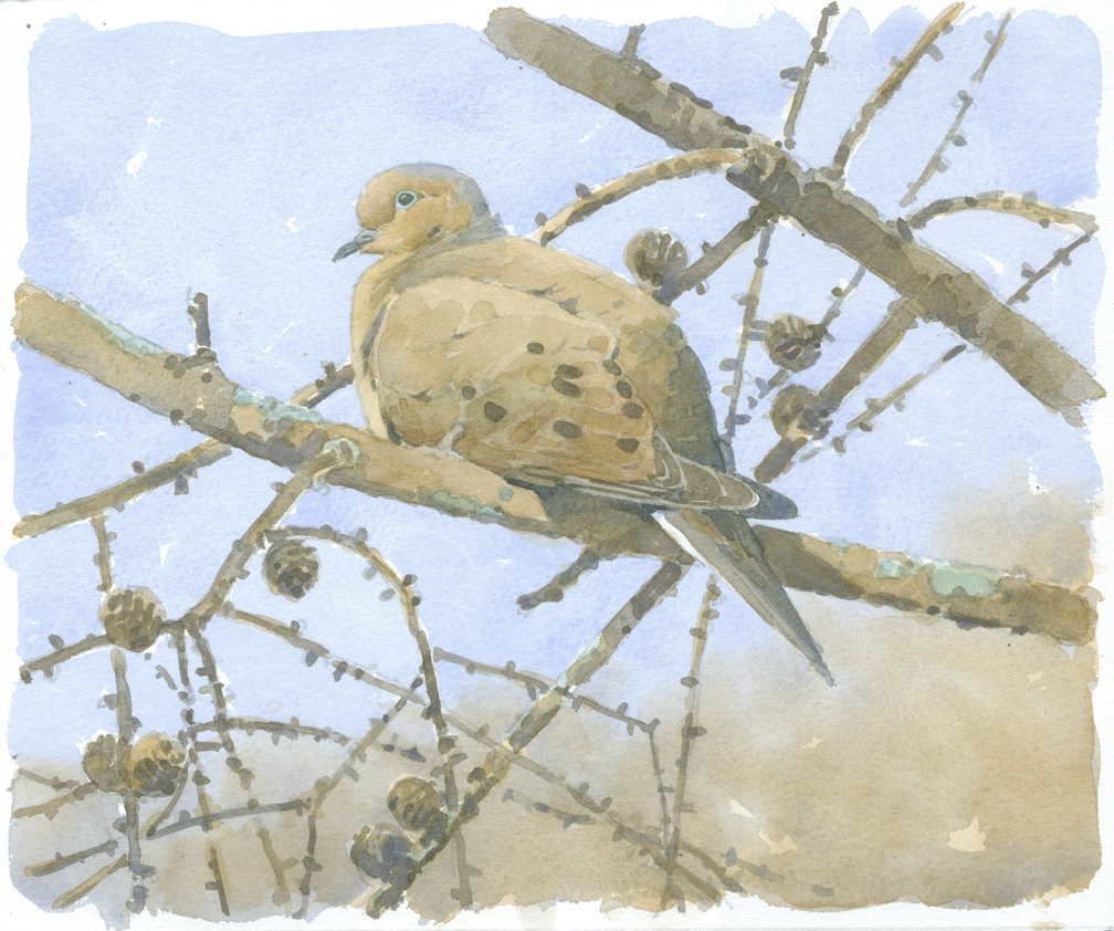 mourning-dove-in-tamarack-2-at-72-dpi