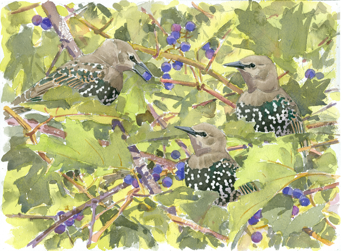young-starlings-and-wild-grapes-at-72-dpi