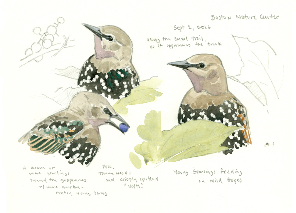 young-starlings-sketchbook-studies-at-72-dpi