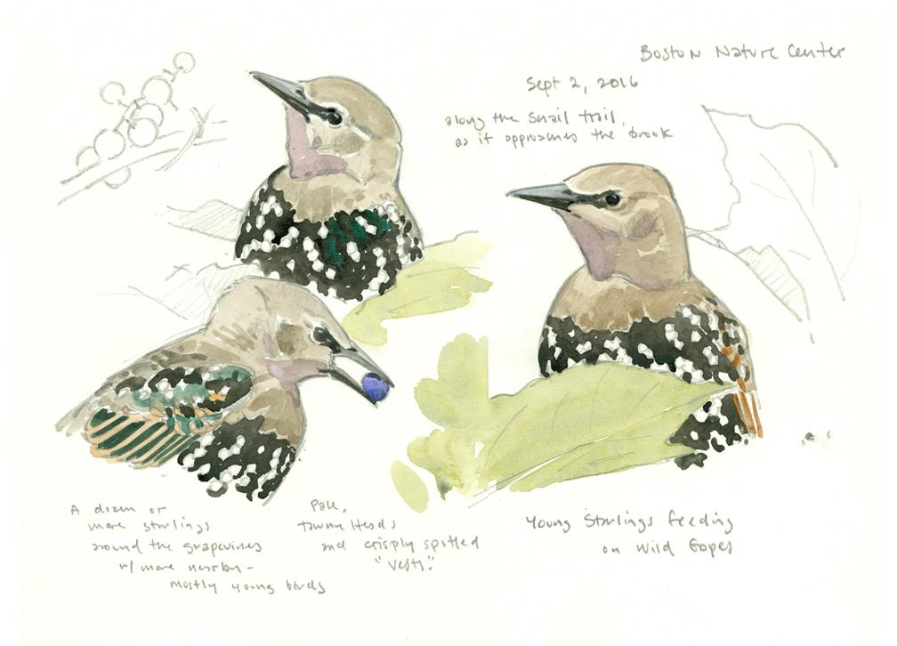 young-starlings-sketchbook-studies-at-72-dpi