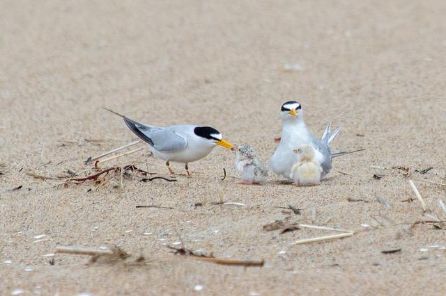 Least Terns -- Bob Minton