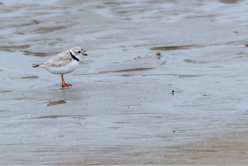 Piping Plover by Bob Minton