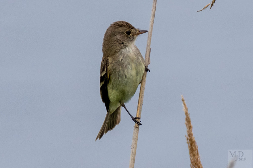 Willow Flycatcher -- Mike Densmore