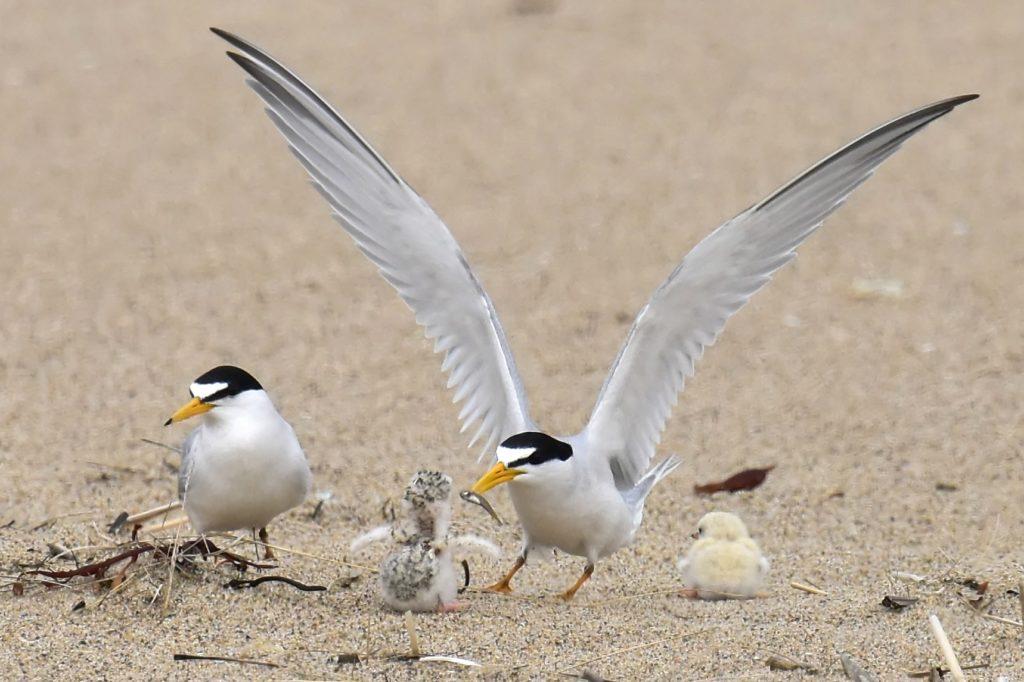 Least Terns -- Tom Schreffler
