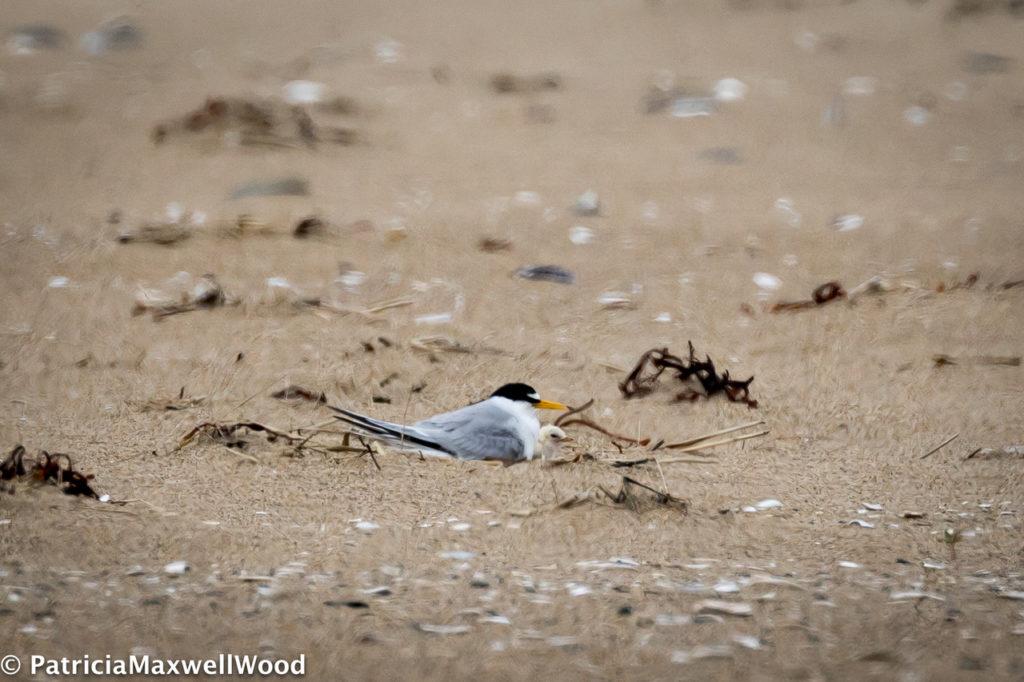Least Terns -- Patti Wood
