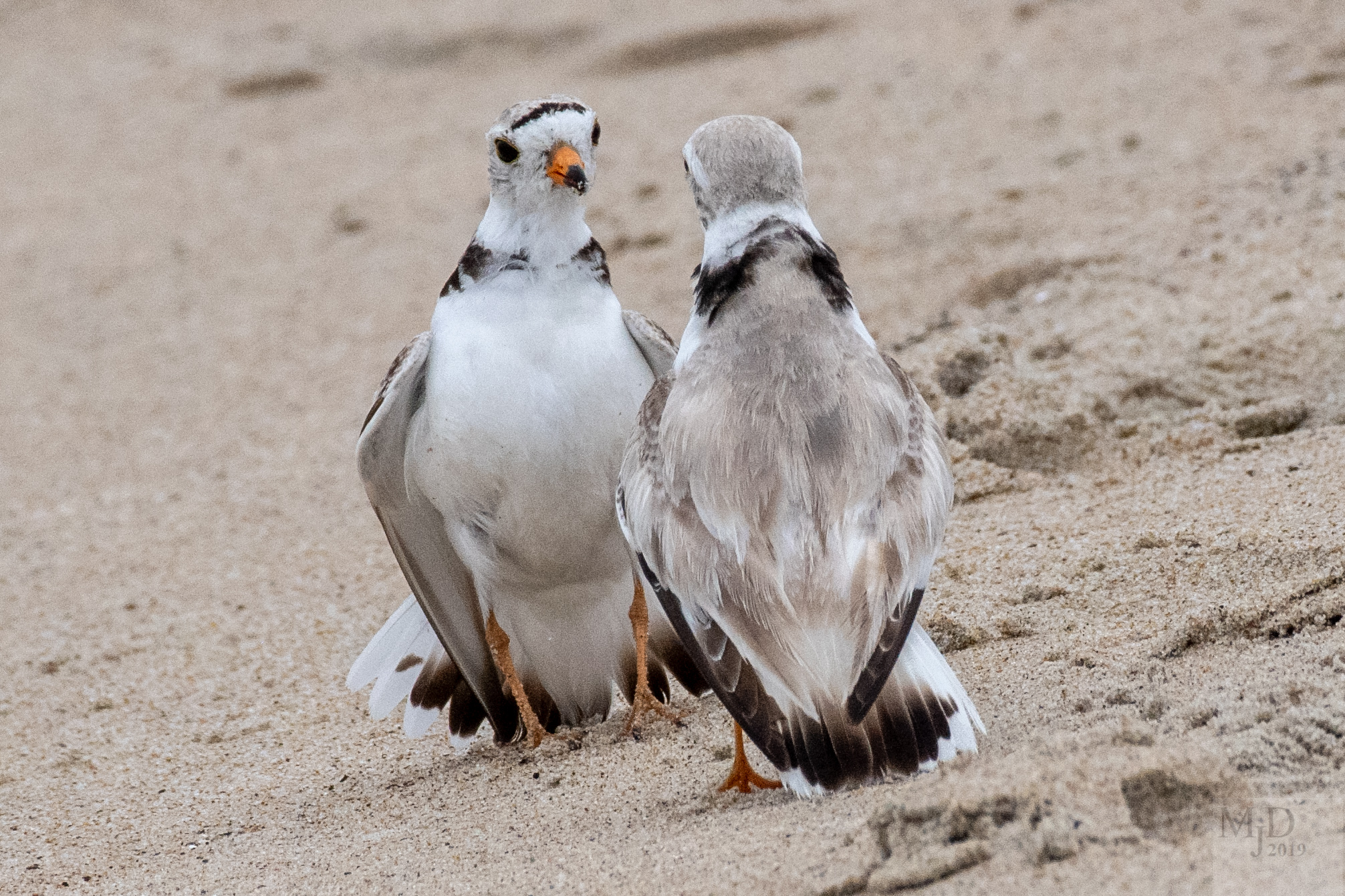 Piping Plover standoff by Mike Densmore