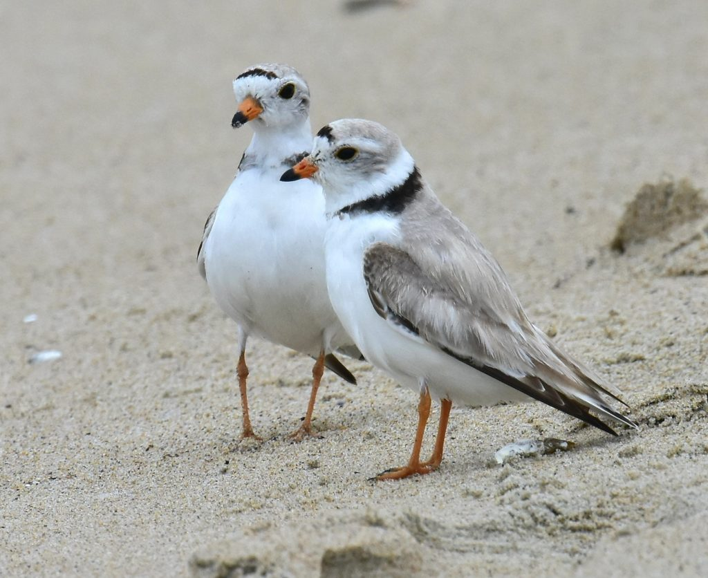 Piping Plover standoff over by Tom Schreffler