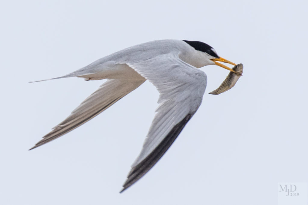 Least Tern by Mike Densmore