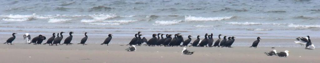 Double-crested Cormorants & Great Black-backed Gulls -- Tom Schreffler