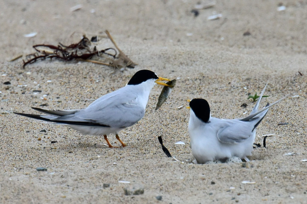 Least Terns by Tom Schreffler