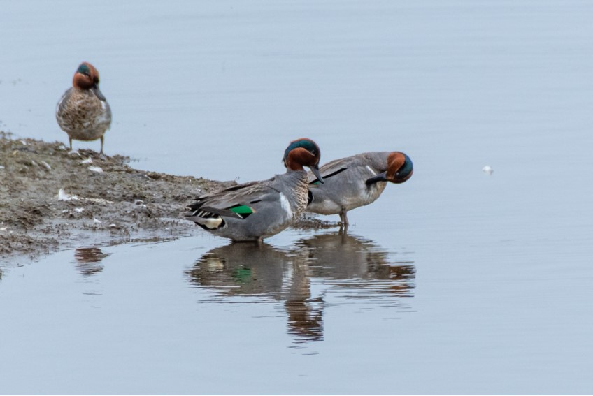 Green-winged Teal by Bob Minton