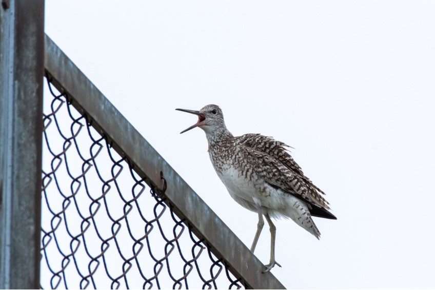Willet by Bob Minton