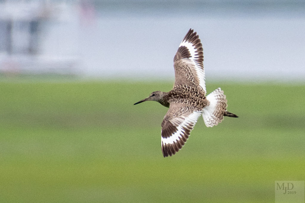 Willet by Mike Densmore