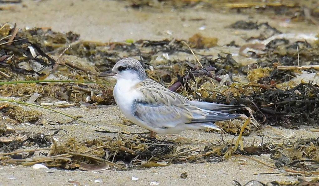 Juvenile Least Tern - Tom Schreffler