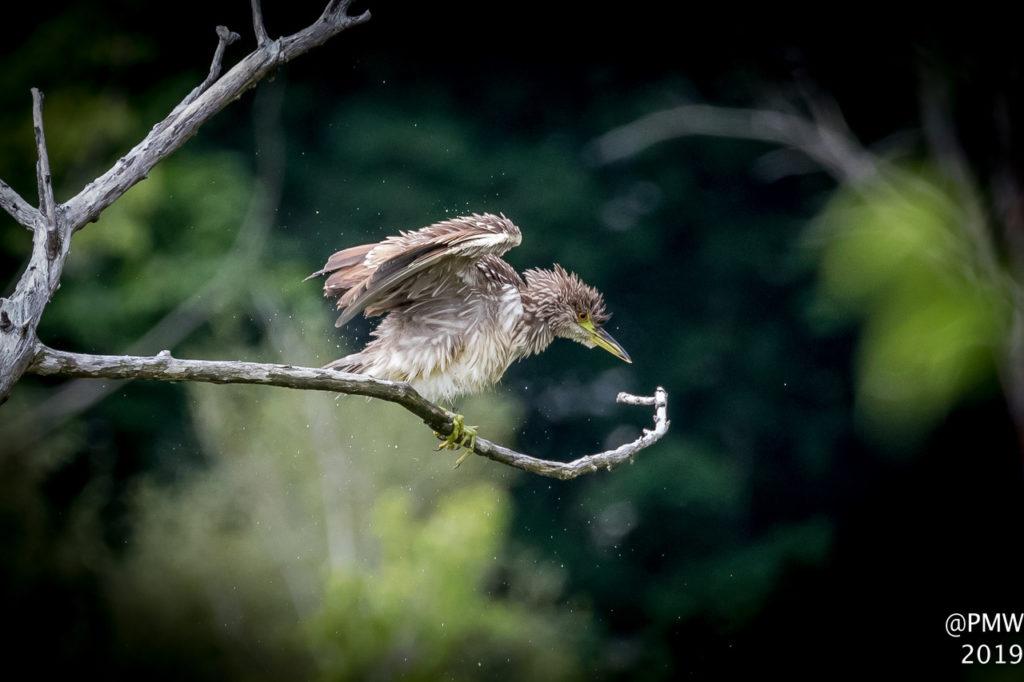 Immature Black-crowned Night-Heron - Patti Wood