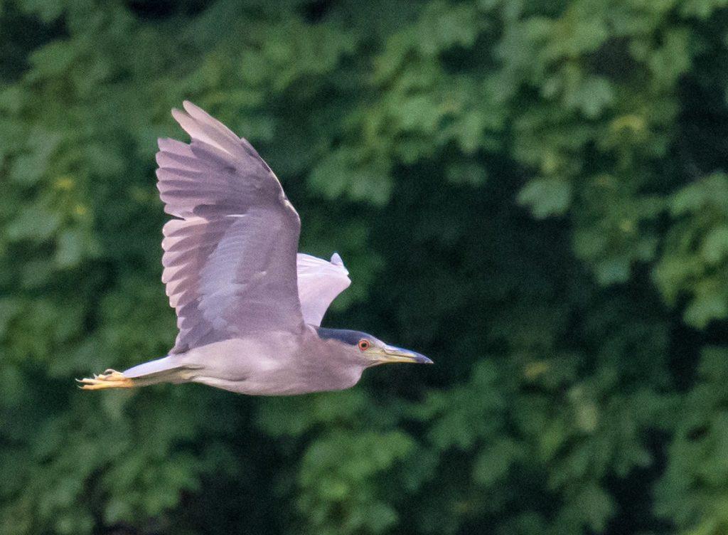 Adult Black-crowned Night-Heron - Tom Schreffler