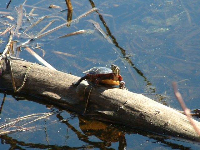 Can Painted Turtles See In The Dark