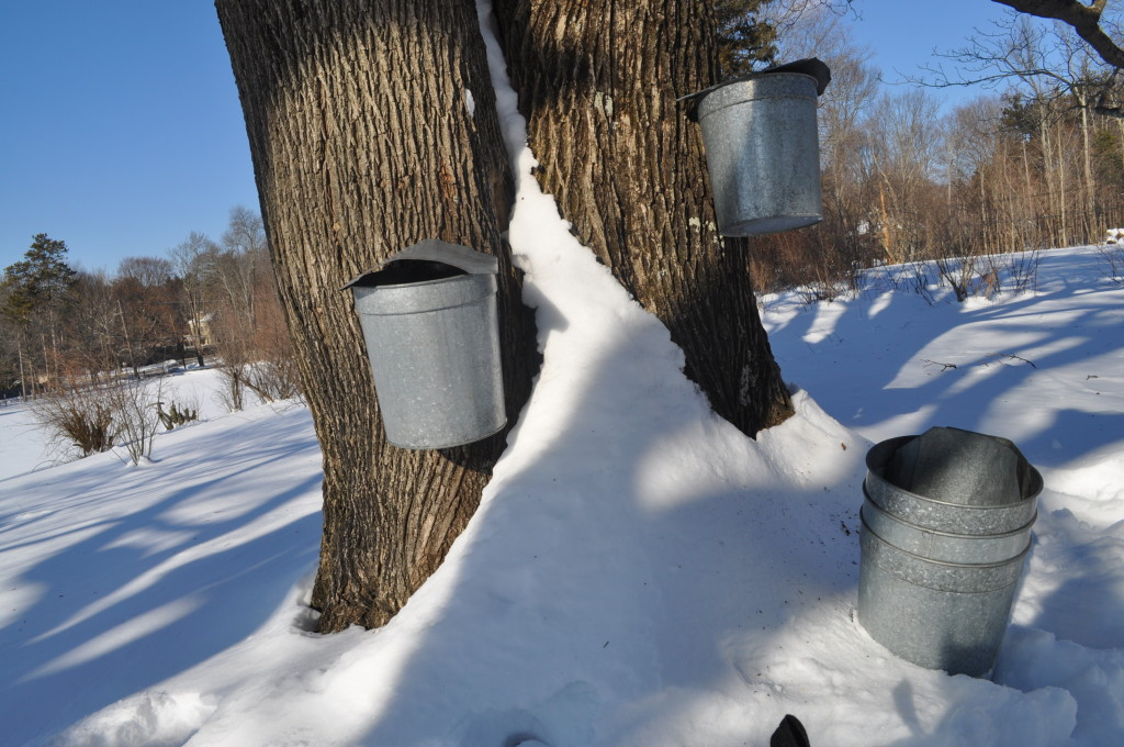 Sugaring Drumlin Farm Tapping HYelle Feb2014 (8)