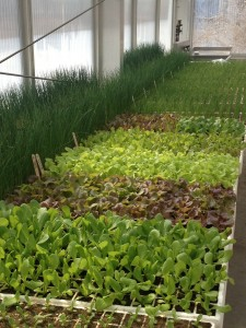 Leafy lettuce is sprouting in bright colors, and the onion shoots (back) are well on their way.