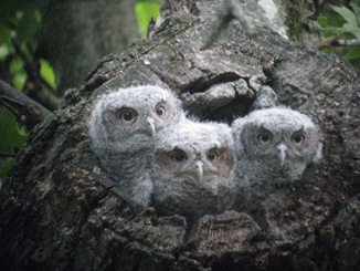 photo by susan coe - eastern screech owl fledglings, have permission to use