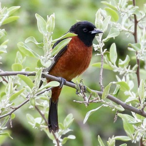 Orchard Oriole  by Henry Mauer