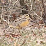 American-woodcock_credit-Mass-Audubon-and-David-Larson