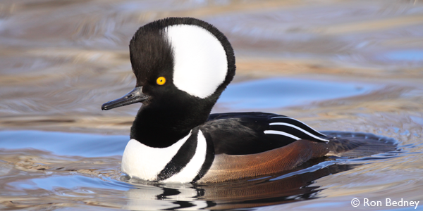 Hooded Merganser 247_FREE_Ron Bedney