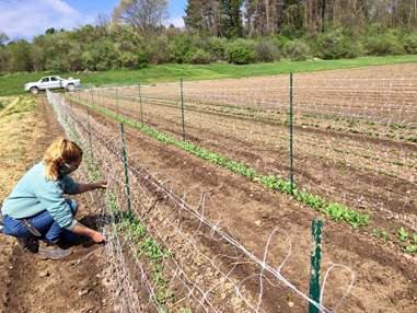 Margaret attaching netting to pea trellises