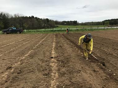 Raking-in the seed potatoes