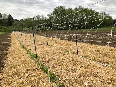 Straw for the pea plants