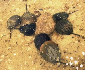 Breeding horseshoe crabs are far more plentiful in Orleans than Wellfleet